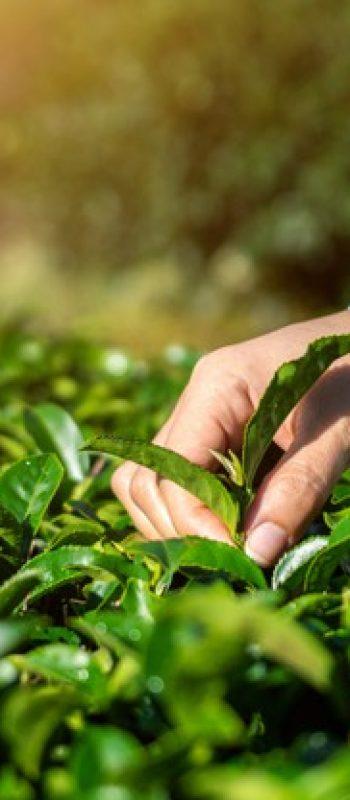 woman-picking-tea-leaves-by-hand-green-tea-farm_335224-771